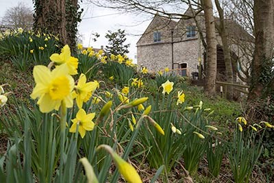 Daffoldils in bloom beside the Watermill