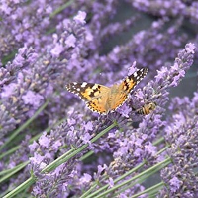 butterfly and bee on sprigs of lavender